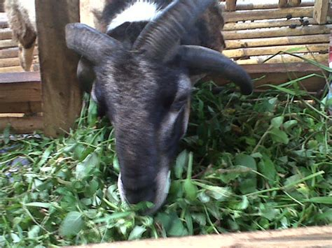 Jual Bibit Kambing Garut peternakan domba kambing assyukur