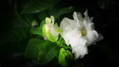 Gardenia Meaning Gardenia Definition Meaning