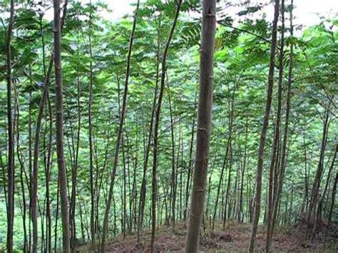 Bibit Sengon Buto cara menanam pohon sengon albasia yang baik agar cepat