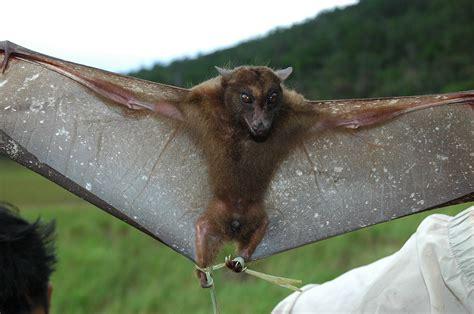 fruit bats harpy fruit bat