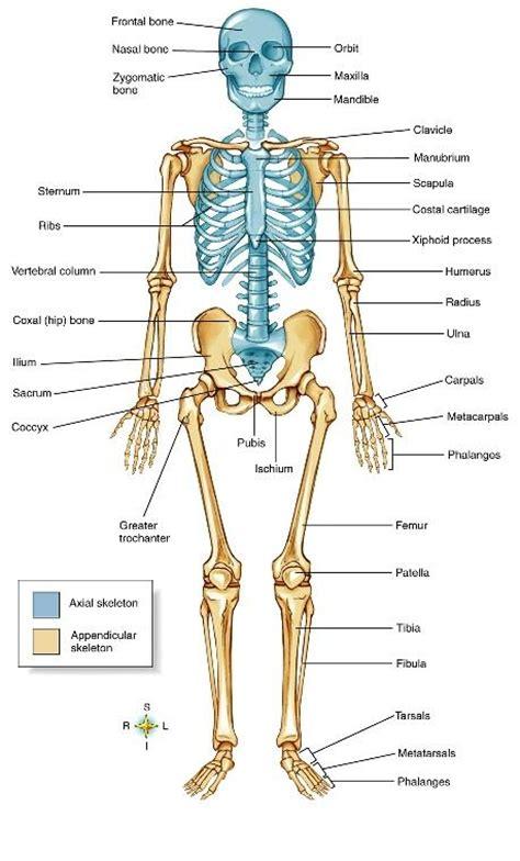 skeleton diagram quiz axial and appendicular skeleton diagram axial skeleton