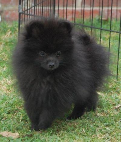black merle pomeranian black pomeranian on pomeranian puppy white pomeranian and german spitz