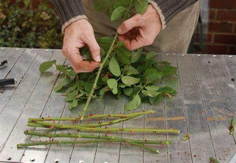 Alat Menghilangkan Duri Mawar cara menanam bunga mawar dengan stek batang di pot bibitbunga