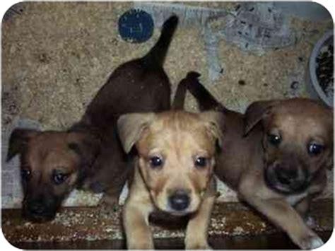rottweiler rat terrier mix german shepherd rat terrier mix breeds picture