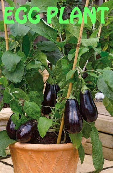 long  purple eggplant grow   pot easy