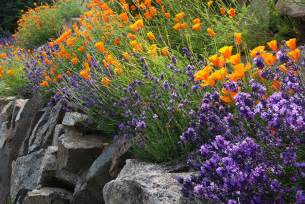 Purple lavender and orange poppies growing in a rock garden have well