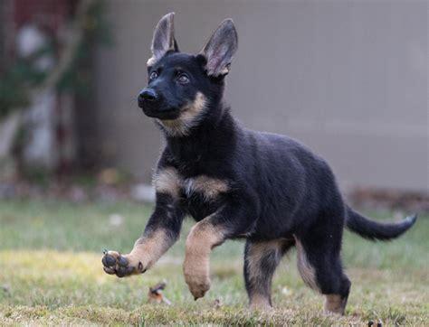week  female shadow german shepherd dog forums