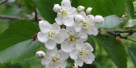 imagenes espino blanco espino blanco planta de referencia para patolg 237 as del