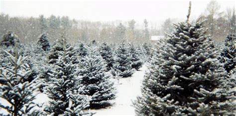 el dorado county christmas tree growers el dorado county