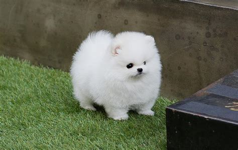 cheap pomeranian puppies for sale in pa pomeranian puppies for sale in pa for cheap breeds picture
