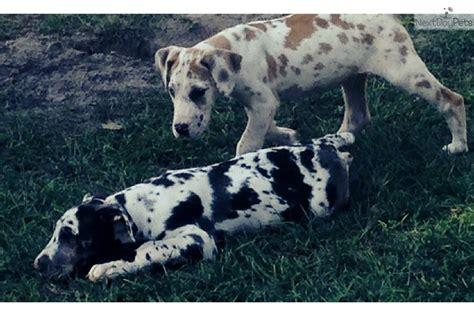 great dane puppies florida great dane puppy for sale near jacksonville florida c669e72e 9fa1