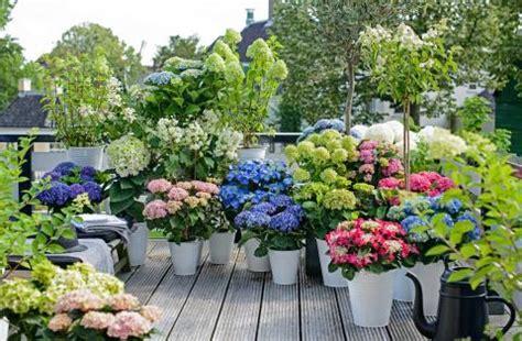 Pflege Hortensien Im Topf 4640 by Bauern Hortensie Garten Hortensie Pflanzen Pflegen Und