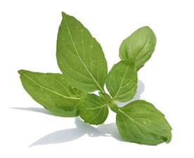 goodness of basil leaves better health lab