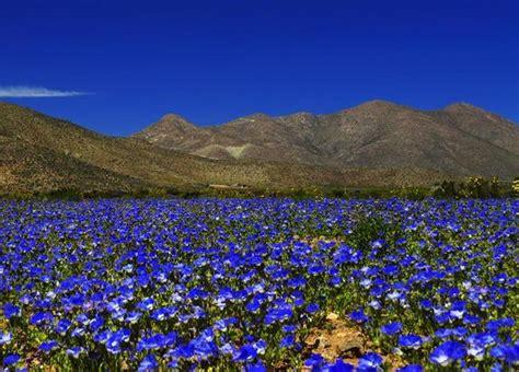 Anza Borrego Desert Flowers in images stunning flower fields of the atacama desert