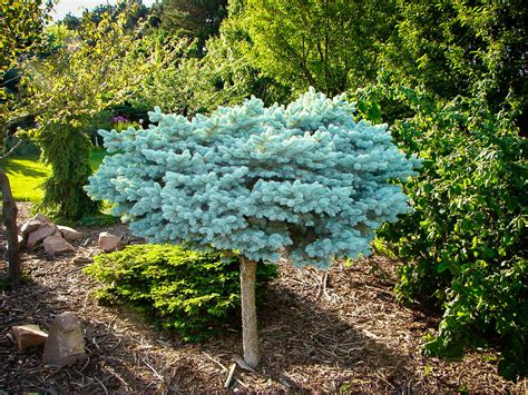 blue trees globe blue spruce tree for sale the tree center