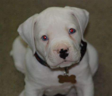 american bulldog boxer puppies american boxer puppies breeds picture