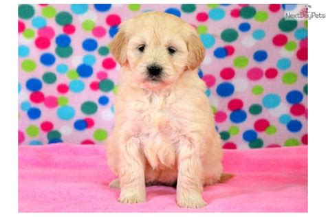 goldendoodle puppy application farrah goldendoodle puppy for sale near lancaster