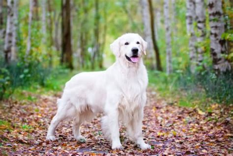 what are white golden retrievers called white golden retriever facts and figures dogs hunt