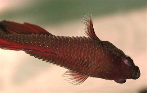 dropsy in fish what is it causes symptoms treatment the pet step