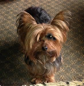 hairstyle for terrier yorkie designer haircuts breeds picture