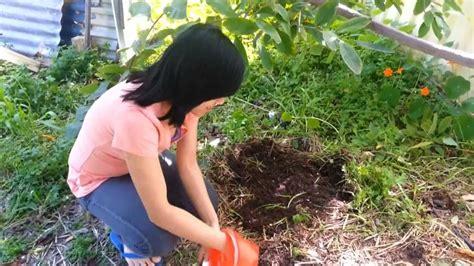 growing ginseng growing ginseng