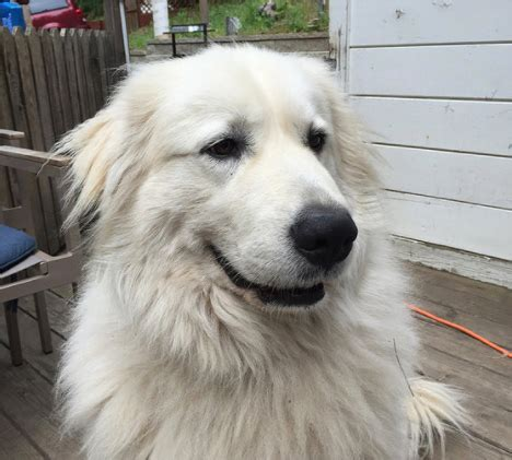 great pyrenees rescue provides wonderful dogs to good homes pyrpaw rescue