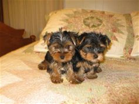 8 week yorkie puppy the world s catalog of ideas