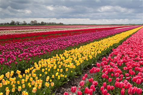 tulip field tulips holland