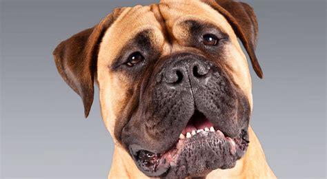 bull mastiff bullmastiff breed information american kennel club