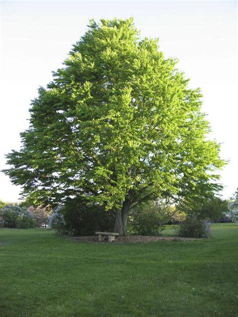 A Tree - katsura tree is a great four season interest shade tree
