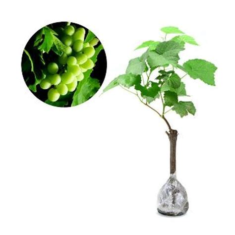 Jual Bibit Anggur Crimson jual bibit tanaman murah anggur hijau pulau jawa