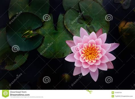 Emberly Top Z By Lotuz the top view of beatiful pink lotus stock photo image