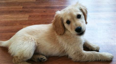Comfort Retriever Breeders by Comfort Retriever Miniature Golden Retriever