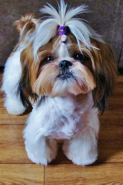 yorkie shih tzu haircuts 16 best shih tzu hair cuts images on shih tzus animals and puppies