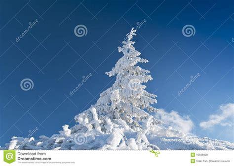 Frozen Sky Blue frozen fir tree isolated on blue sky stock photo image