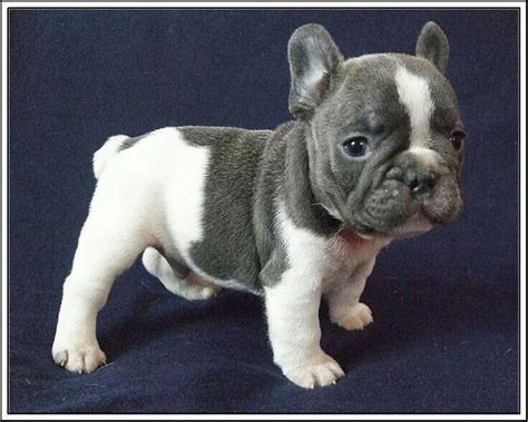 how do teacup pugs live 123 best images about tea cup puppies on puppys tea cups and yorkie