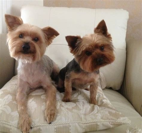 yorkie breeder terrier breed information and pictures yorkie
