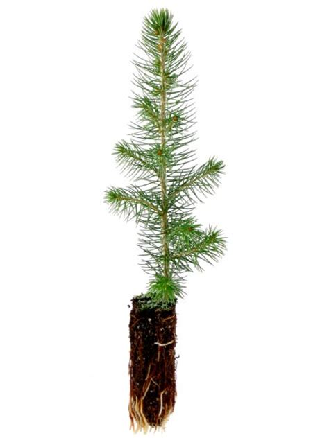 Planting Pots For Sale by Colorado Spruce Amp Blue Spruce Tree Seedlings For Sale Treetime Ca