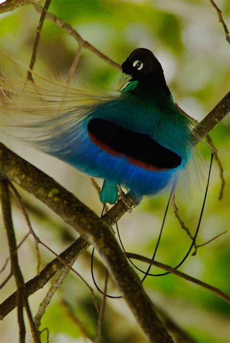 Mahkota Crown Bulu Warna Warni s miftahul huda 10 burung cendrawasih dengan bulu