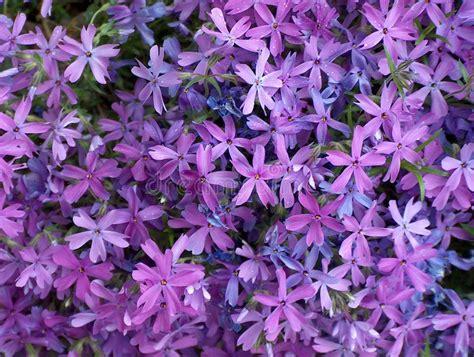 nomi fiori viola fiori viola immagine stock immagine di fiore multitude