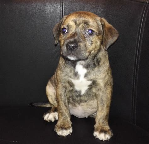 staffy cross rottweiler puppy large brindle puppies for adoption breeds picture