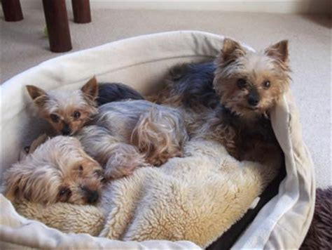 rescue dogs yorkies yorkie rescue nyjpg breeds picture
