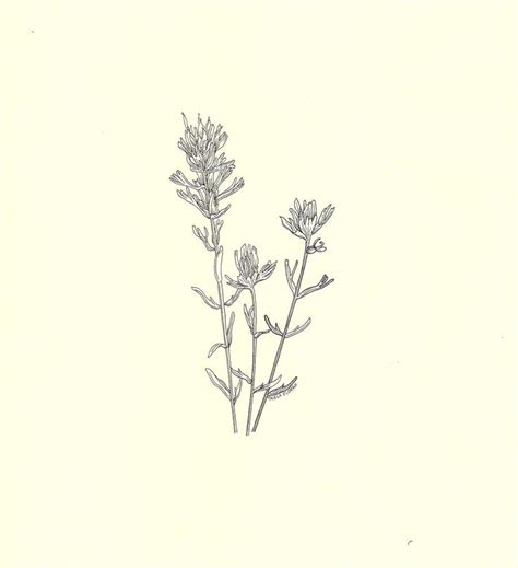 botanical tattoo designs indian paintbrush botanical drawing search