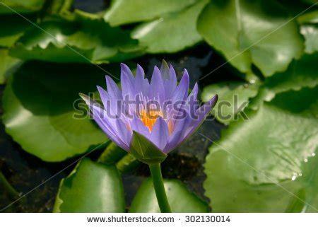 Purple Lotus Temple China Flower Stock Photo 592487774
