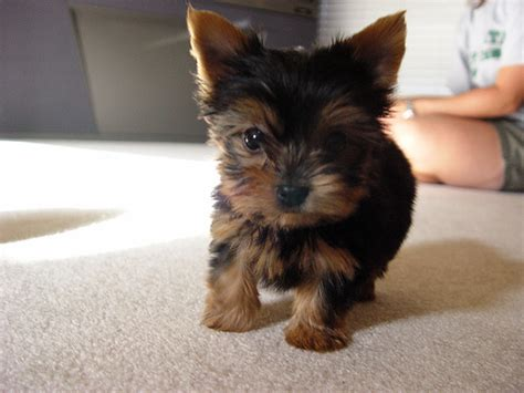 miniature yorkie for adoption yorkie puppies for adoption