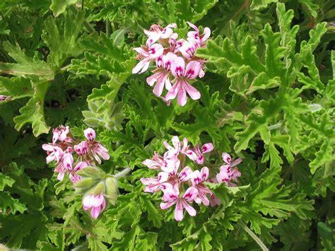 Maladie Des Geraniums by Geranium Pelargonium Graveolens Botanicals We Work