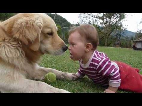 golden retriever and babies a golden retriever a baby and a tennis