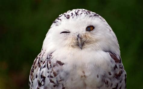 White Owl L Base by Snowy Owl Bird Hd Wallpaper Android Apps On Play