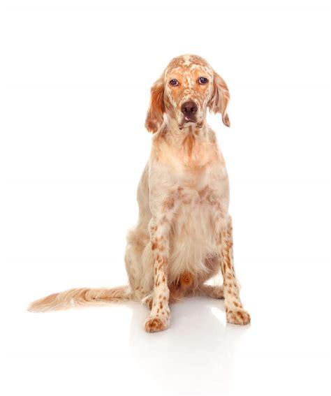 spanish setter dog english setter dogs breed information omlet