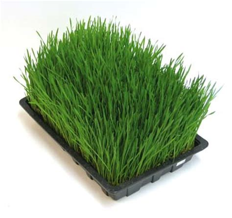 Wellness Wheat Grass wheatgrass how to grow it why to drink it